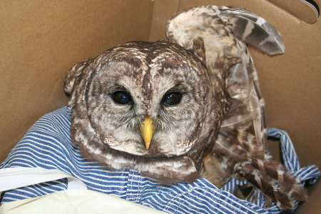 Orville the Owl to Get Care from HCC